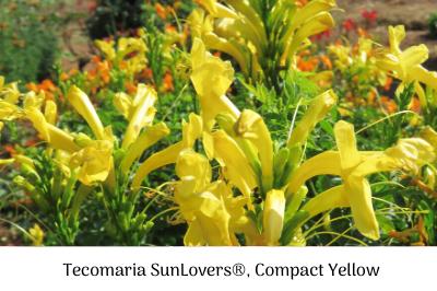 Life is a Garden – Tecomaria SunLovers®, Compact Range