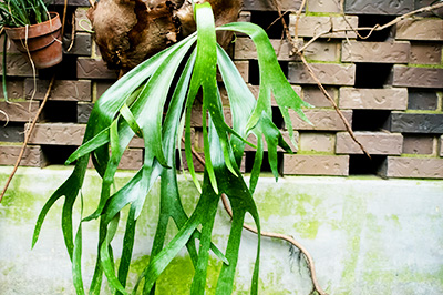 Life_is_a_Garden_SEPStaghornFerns-5