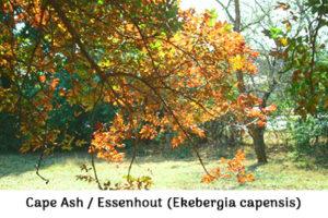 Life is a Garden - Cape ash or essenhout Ekebergia capensis