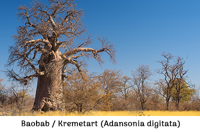 Life is a Garden - baobab or kremetart Adansonia digitata
