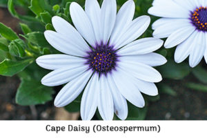 Cape daisies or Osteospermums: