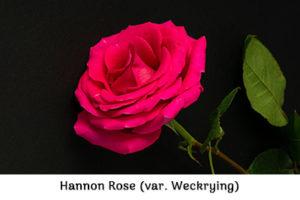 Life_is_a_Garden_OCT-InTheGarden-Rose1
