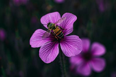 Life_is_a_Garden_OCTBeeFriendly-Bee2