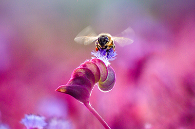 Life_is_a_Garden_OCTBeeFriendly-Bee3
