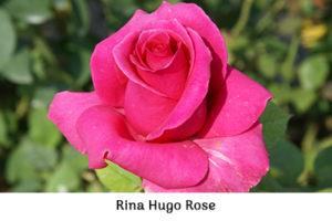 Life_is_a_Garden_OCT-InTheGarden-Rose6