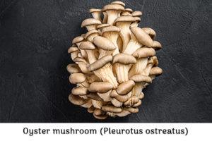 Oyster mushroom