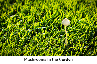 Mushrooms in the garden