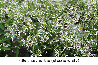 Filler euphorbia