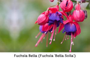 Fuchsia Bella