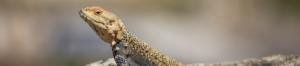 Eco-warrior, lizards