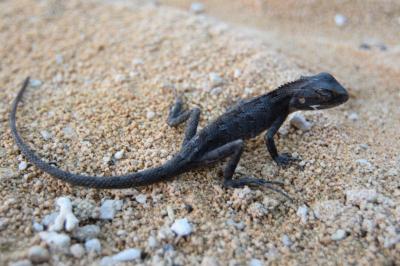 Lizard Eco warrior