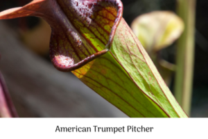 American Trumpet Pitcher, carnivorous plants, dissecting, experiment