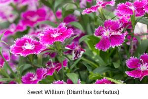 Sow Sweet William