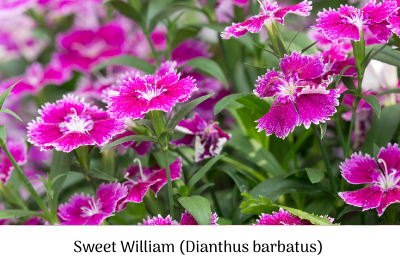 Sow Sweet William