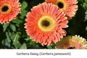 Gerbera Daisy, sow