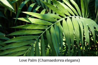 Love Palm (Chamaedorea elegans)