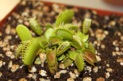 Venus fly trap, carnivorous plant, dissecting