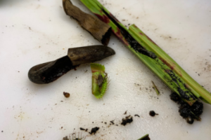 Dissecting carnivorous plants, experiment