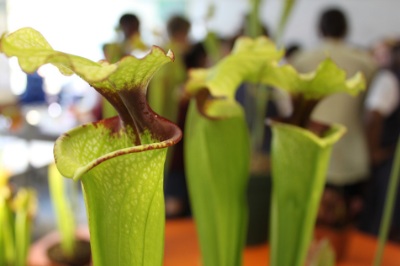 American Trumpet Pitcher, dissecting carnivorous plants