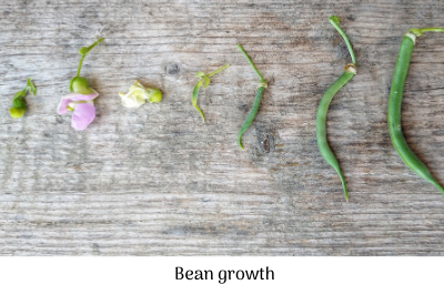 Bean growth