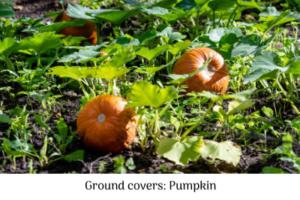 Ground covers - pumpkin