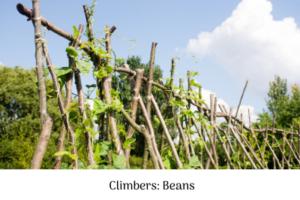 Climbers - beans