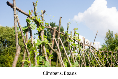 Climbers - beans
