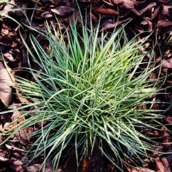 Carex_Eversheen