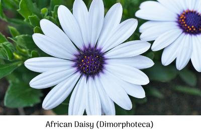 African daisy (Dimorphoteca)