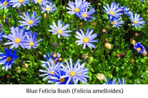 Blue Felicia bush