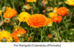 Pot marigold (Calendula officinalis) to keep pests at bay in the veggie patch.