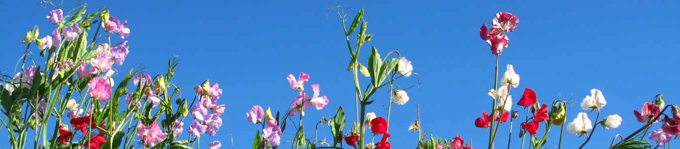 Sweet Pea, companion plants