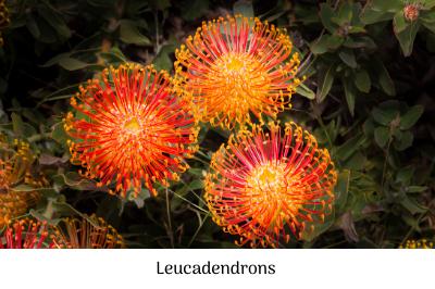 leucadendrons