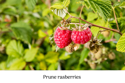 Prune rasberries