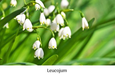 Leucojum
