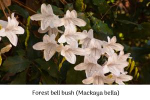 Forest bell bush (Mackaya bella).