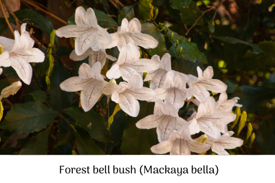 Forest bell bush (Mackaya bella).