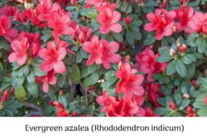 evergreen azalea (Rhododendron indicum)