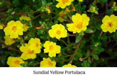 Sundial yellow portulaca