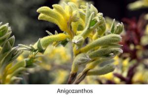 Anigozanthos