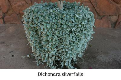 Dichondra silverfalls