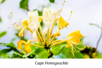 Cape Honeysuckle