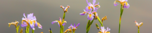 Wild iris (Dietes grandiflora).