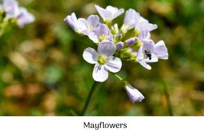 Mayflowers