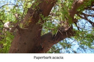 Paperbark acacia