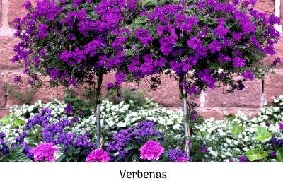 Verbenas