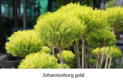 Johannesburg gold