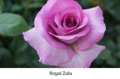 Royal Zulu