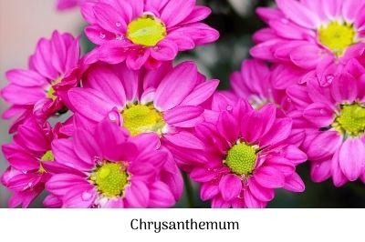Chrysanthemum paludosum